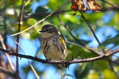The yellow-rumped warblers have arrived in droves in Beaufort County. This is one of several that have taken over the trees at Jarvis Creek Park on Hilton Head Island. More at http://www.thatsbug2u.com.