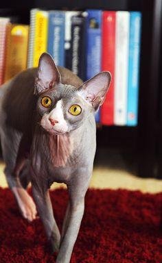 Cinna the Cat by jillccarlson, via Flickr