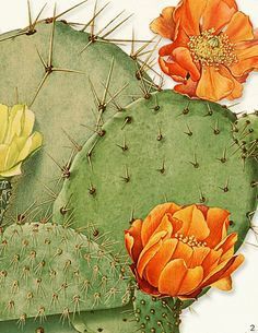 Cacti Of America Scientific Illustration 3: The Third Art Print In a Series of 4. $9.99, via Etsy.