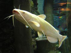 12 best albino catfish