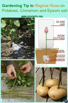 Top Gardening Tip to Regrow Rose on Potatoes is part of Growing roses - Gardening Tip to Regrow Rose on Potatoes, Cinnamon and Epsom salt,with recommendations on how to cut, how to boost to get wild and healthy rose garden Rose Cuttings, Plant Cuttings, Rose Propagation, Growing Plants, Growing Vegetables, Container Gardening, Gardening Tips, Organic Gardening, Flower Gardening