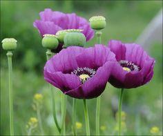 Beautiful purple Poppies, wij hebben alleen rode in de tuin maar ik ga eens kijken of ik deze kan vinden voor volgend seizoen