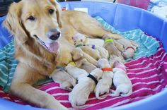 Mayzie with her 11 puppies. AKC 1/2 English & 1/2 American Golden Retriever. Bring home a Golden Retriever puppy for Christmas this year! Newborn puppies will be ready to go home in December 2015! Go to www.facebook.com/FerryTailGoldens for more information.