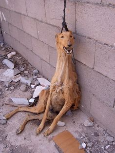 MORE SIGNATURES NEEDED The Galgo Español also known as the Spanish Greyhound is an ancient breed of dog. Every year after the hunting season is over more than Stop Animal Cruelty, Animal Testing, Animal Rescue, Save Animals, Animals And Pets, Cane Corso, Amor Animal, Hate People, Cruel People