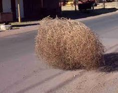 Genuine West Texas Tumbleweed - they can get pretty big - saw many as a kid living in West Texas...