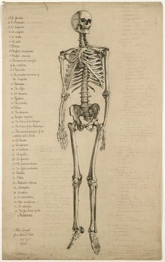 anatomical drawing of a skeleton, 1840