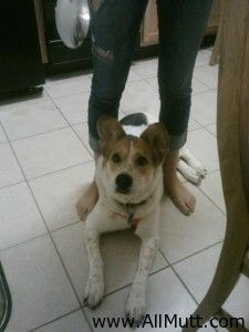Husky Mixed With Beagle Terrier Mix Dogs, Beagle Mix, Husky Mix, Akita, Corgi, Puppies, Wicker, Animals, Gallery