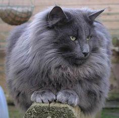 Le chat norvégien est communément appelé sous différentes noms tels que « skogkatt » ou « chat des forêts norvégiennes ». Physique du norvé