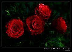 صور ازهار حمراء , ورد جوري احمر وابيض للخلفيات , اجمل صور الجوري الحمراء
