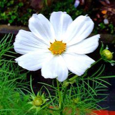 Cosmos Flowers, Annual Plants, Season Colors, Summer Colors, Stems, Breeze, Melbourne, Butterflies, Past