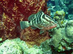 Nassau Grouper 2 by reefbubbles, via Flickr