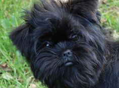 Jude Daley and Joan Collins are from New Hampshire and AKC BREEDERS OF MERIT - Proudly breeding Collindale Affenpinschers.AKC proudly supports the Collindale Affenpinscher breeders as dedicated and responsible. We encourage all prospective puppy owners to do their research and be prepared with questions to ask. Make sure you are not only choosing the right breed for you, but also that you're getting it from the right individual. Our puppies come from AKC Champion sires and dams only - t...