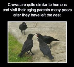 I love knowing this about crows, don't you? via