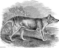 19th Century book illustration of Thylacine (Thylacinus Cynocephalus). The last known Tasm...