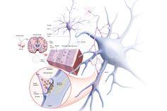 Cerveau tonic, Neurones-Synapses …