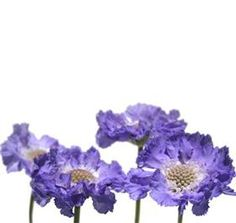 Blue • Purple • Lavender Scabiosa~ Available on & off year round