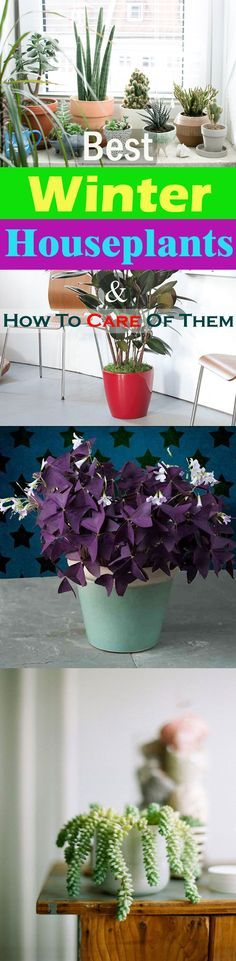 Learn how to take care of indoor plants in winter in this article. Also, read about winter houseplants you can grow indoors when temperature comes down.