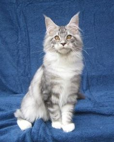 silver tabby and white maine coon cat