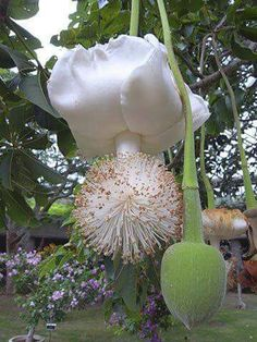Baobab tree flower, Southern Africa/ Namibia 2015 ☆☆☆ Floresce a cada 50 anos ☆☆☆ Bloom every 50 years Strange Flowers, Unusual Flowers, Unusual Plants, Rare Plants, Rare Flowers, Exotic Plants, Amazing Flowers, White Flowers, Beautiful Flowers