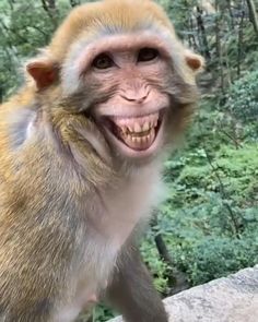 Monkey Funny Videos, Funny Monkey Pictures, Some Funny Videos, Cute Wild Animals, Cute Little Animals, Animals Beautiful, Smiling Animals, Funny Animal Jokes, Funny Animal Videos