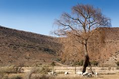 Sheeps Under The Tree - Nieu-Bethesda Landscape  Sheeps Under The Tree - Nieu-Bethesda is a village in the Eastern Cape at the foot of the Sneeuberge, approximately 50 kilometres from Graaff Reinet.