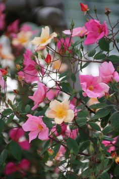 rosa chinensis 'Mutabilis' rose Blooms open deep pink, and fade through spectrum of sunset colours. Open bush type, few thorns. Fully hardy.  Can grow over 2m if left unpruned.