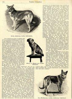 Der deutsche Schäferhund * Textbeitrag & historische Aufnahmen von 1898