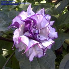 Bloom for July 7, 2012: Datura (devil's trumpet) 'Black Currant Swirl'. Photo by AnniesAnnuals