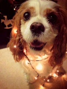 Dear Santa, all i want for Christmas is a Cavalier King Charles Spaniel♥