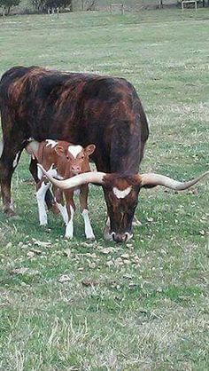 Longhorn Texas steer and baby. Looks like a heart on his head Longhorn Cow, Longhorn Cattle, Barn Animals, Texas Animals, Beautiful Creatures, Animals Beautiful, Cute Baby Animals, Animal Babies, Bull Cow