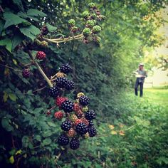 Blackberry picking, one of my favourite childhood memories! Scratched arms and hands but worth it!