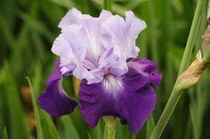 "DIVINE Rainbow Iris Farm (The free one we received.) 38"""