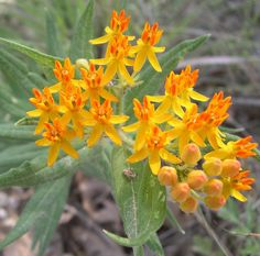 Image result for Asclepias