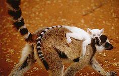Albino Ring Tailed Lemur.