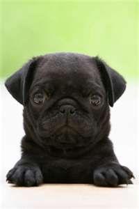 little black pug <3