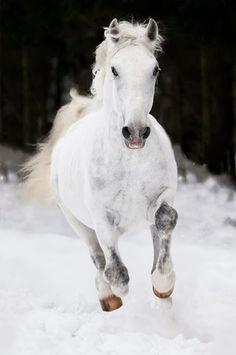 White Lipizzan horse runs gallop in winter. White Lipizzan horse runs gallop on , Cute Horses, Horse Love, Gray Horse, Black Horses, Most Beautiful Animals, Beautiful Horses, Beautiful Creatures, Animals And Pets, Cute Animals