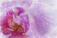 Gallery Direct Fine Art Prints: Orchid Ii by Sia Aryai