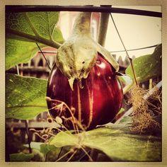 Rosita eggplant.