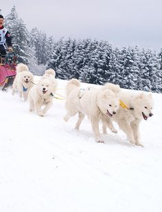 Samoyeds love to pull, whether it be a leash, a sled or your heart-strings. ❤ Lynelle Mattson