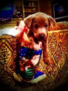 Khaki...Khaki Mae  silver lab puppy