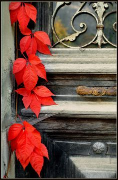 Scarlet red leaves against a weathered rusty door. #fall #autumn