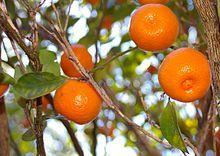 Calamansi …Calamansi citrus are actually a very old cross between mandarin ora… - Modern Kumquat Tree, Citrus Trees, Peach Trees, Cherry Tree Varieties, Dwarf Peach Tree, Dwarf Fruit Trees, Fruit Plants, Apricot Tree, All Fruits