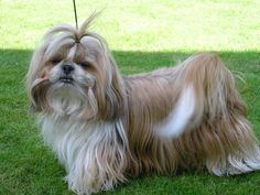 shih tzu | Shih Tzu:Pictures of Dogs and All About Dog