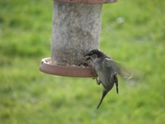 An action shot I managed to snap this morning, as this sparrow refused to land on the seed feeder, finding it easier to snatch a snack on the wing. A very energetic form of laziness.