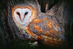Красивая сова