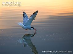 Common tern fishing at sunset