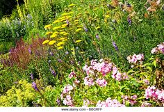Close up of a herbaceous perennial border with yellow yarrow or Achillea and pink phlox - Stock Image