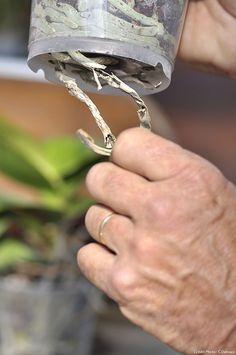Couper les racines d'une orchidée Inside Garden, Veg Garden, Garden Care, Green Garden, Garden Planters, Orchid Care, Garden Styles, Permaculture, Horticulture