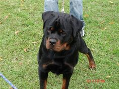 I have a rottweiler named Gracie Bear Skalko. Her middle name is bear after her mother.