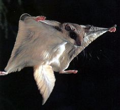 flying squirrel -- I always wondered what one of these looked like